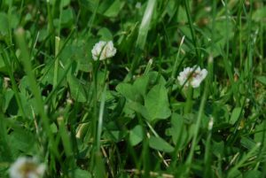 Why You Should Consider Planting a Clover Lawn