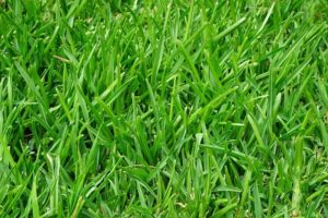 Caring for Tall Fescue Sod