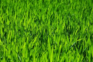 3 Lawn Watering Tips That You Need to Memorize Quantico Creek Sod